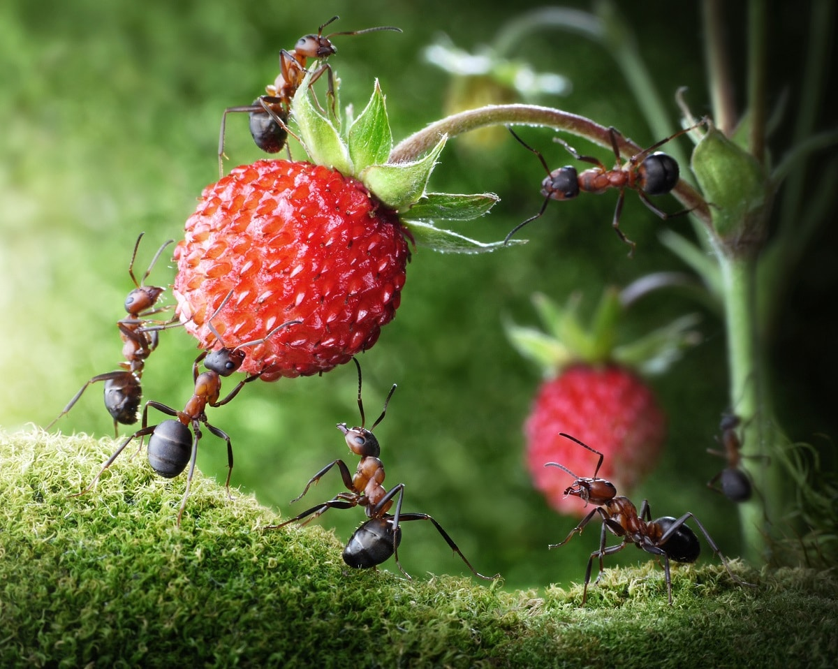 Ants Stealing Fruit