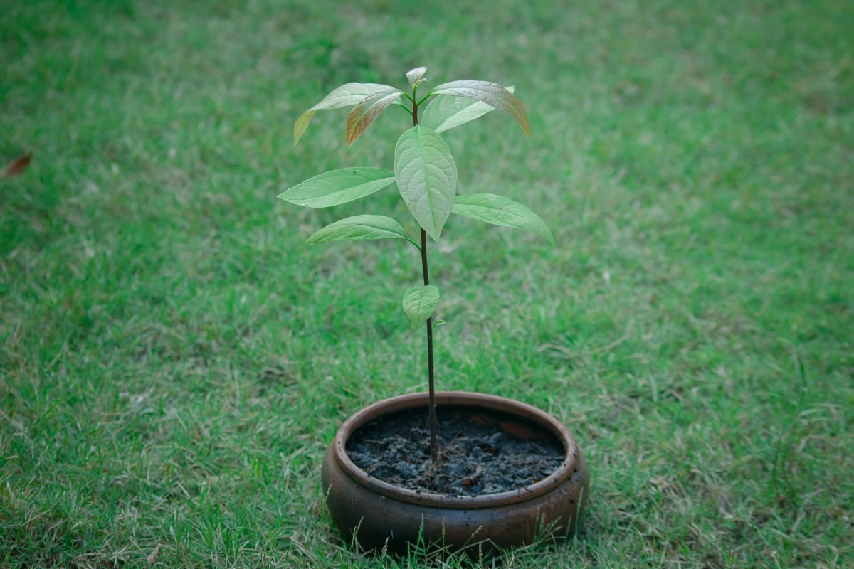 Avocado tree in a container outside