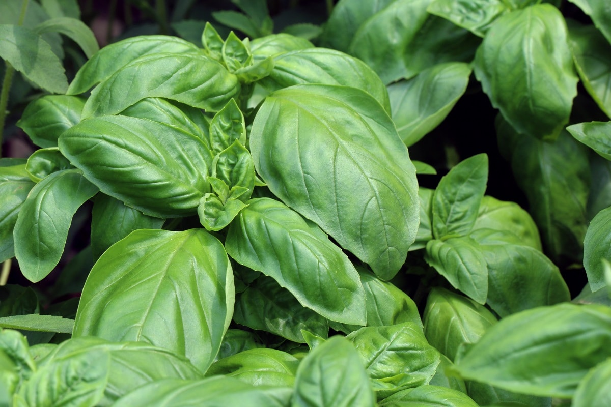 Basil plants, one of the best plants to grow in a VegTrug