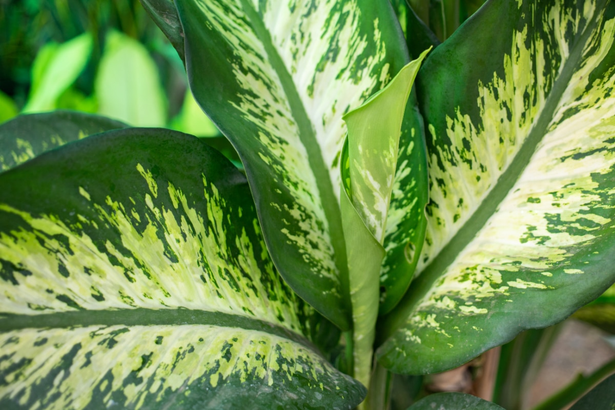 Grow Dumb Cane in water