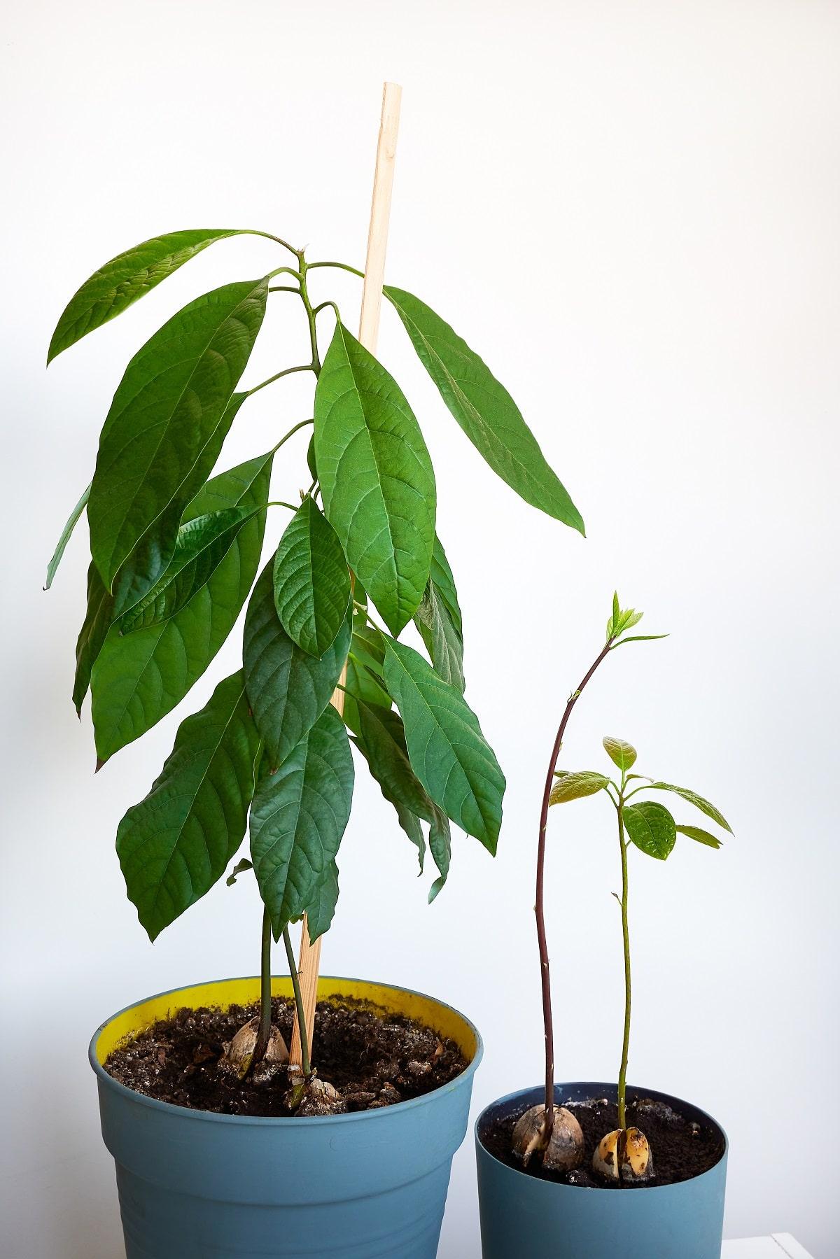 Growing avocado trees