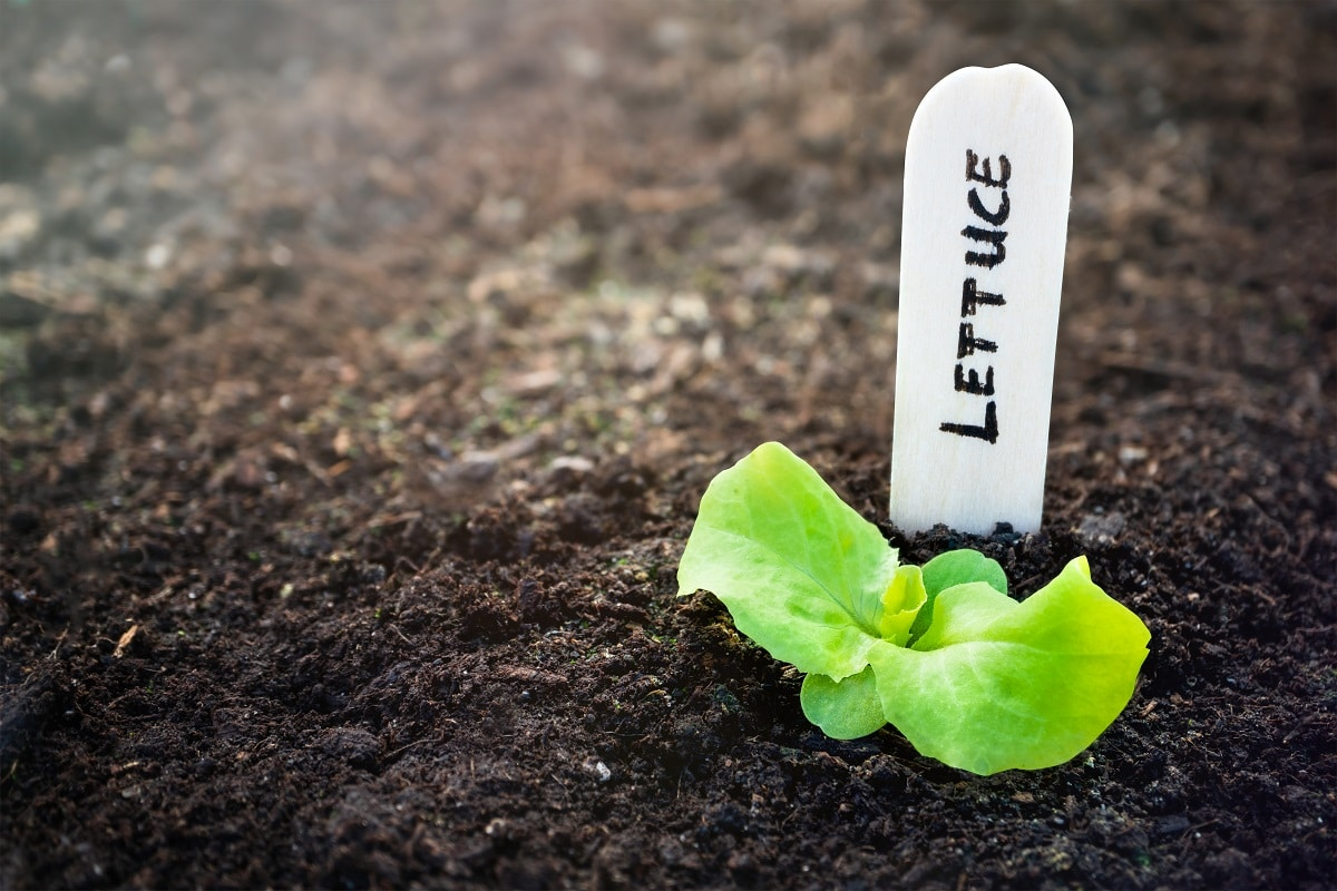 Lettuce is one of the best plants to grow in a VegTrug