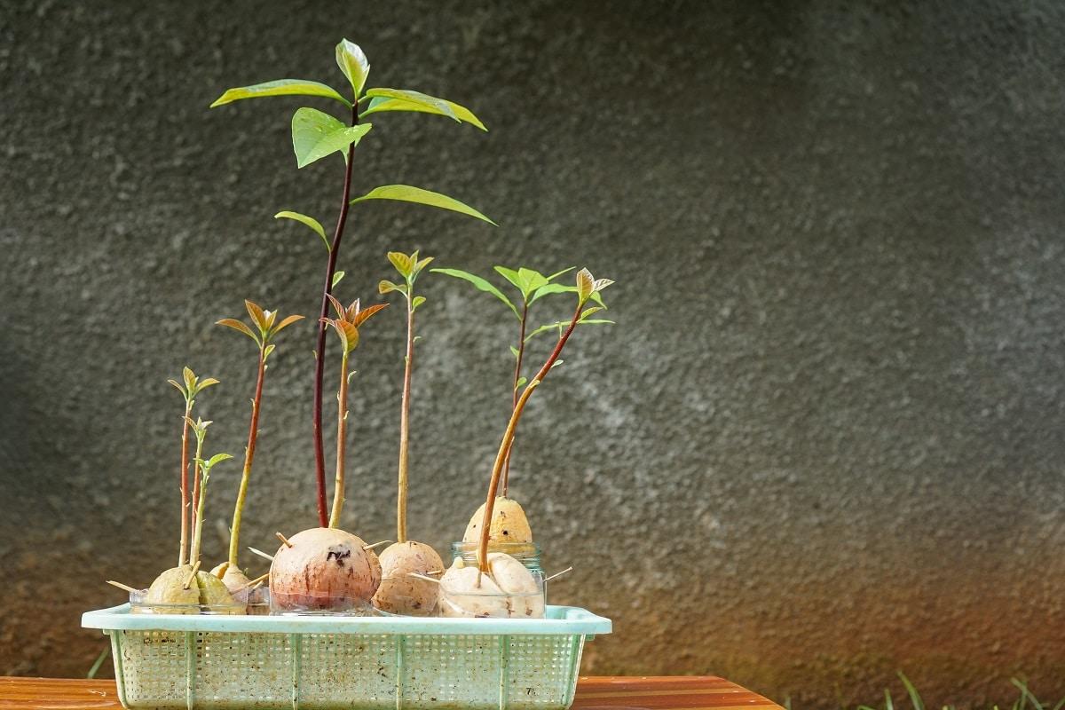 Avocado Starts ready to transplant