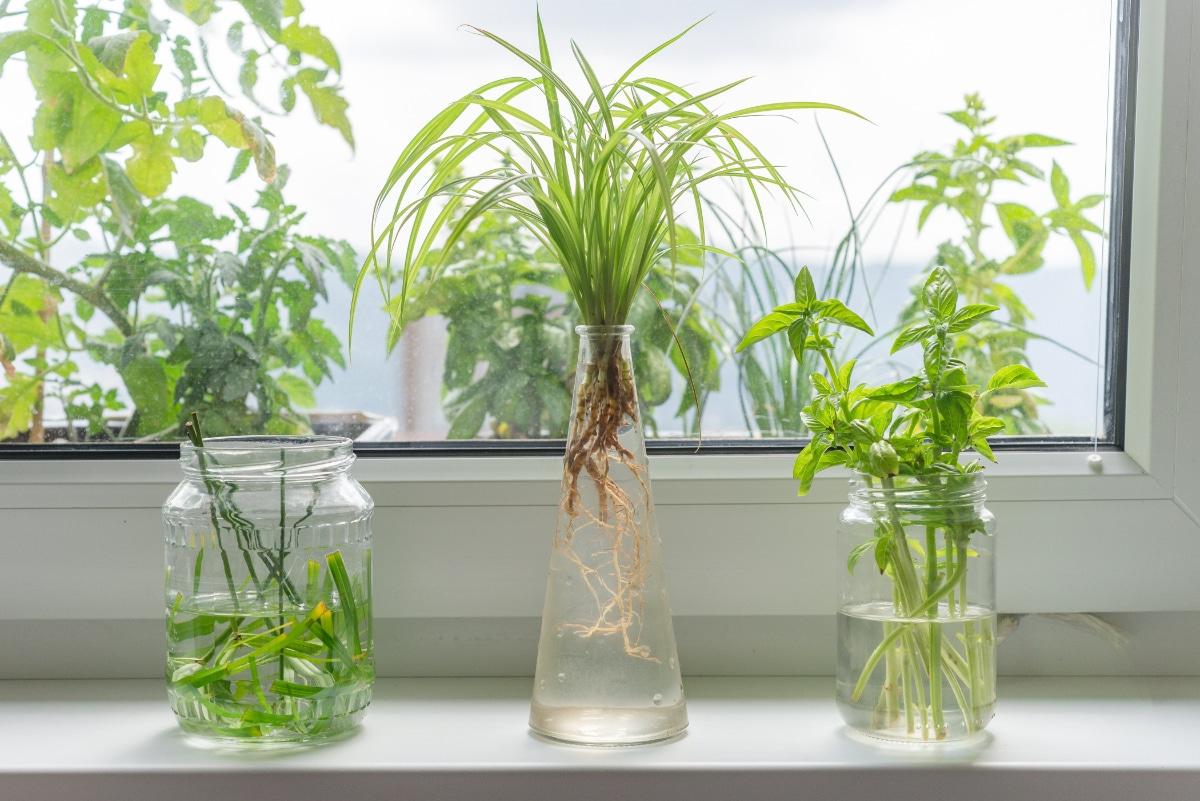 Houseplants grow in water