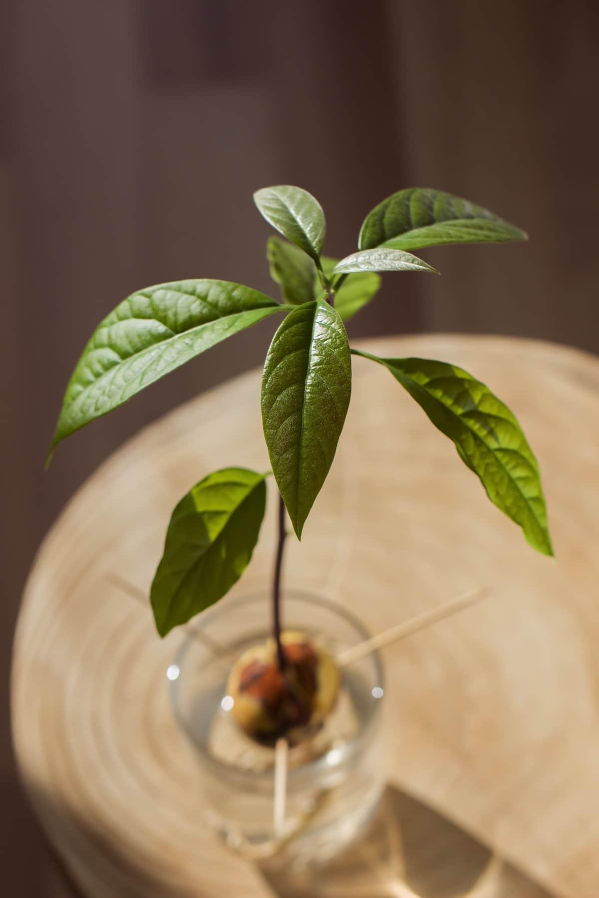 Avocado Tree Growing in Water