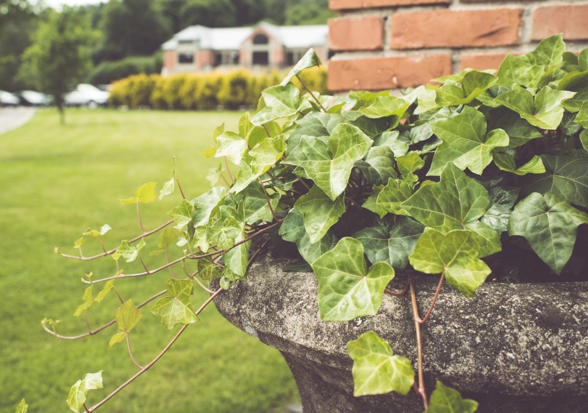 Ivy growing in water