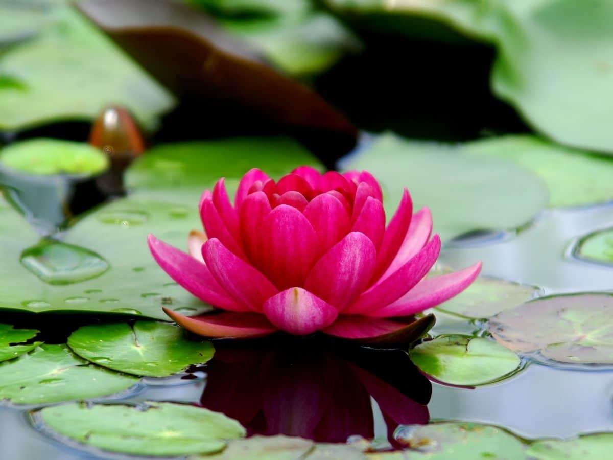 Lotus blooming in water