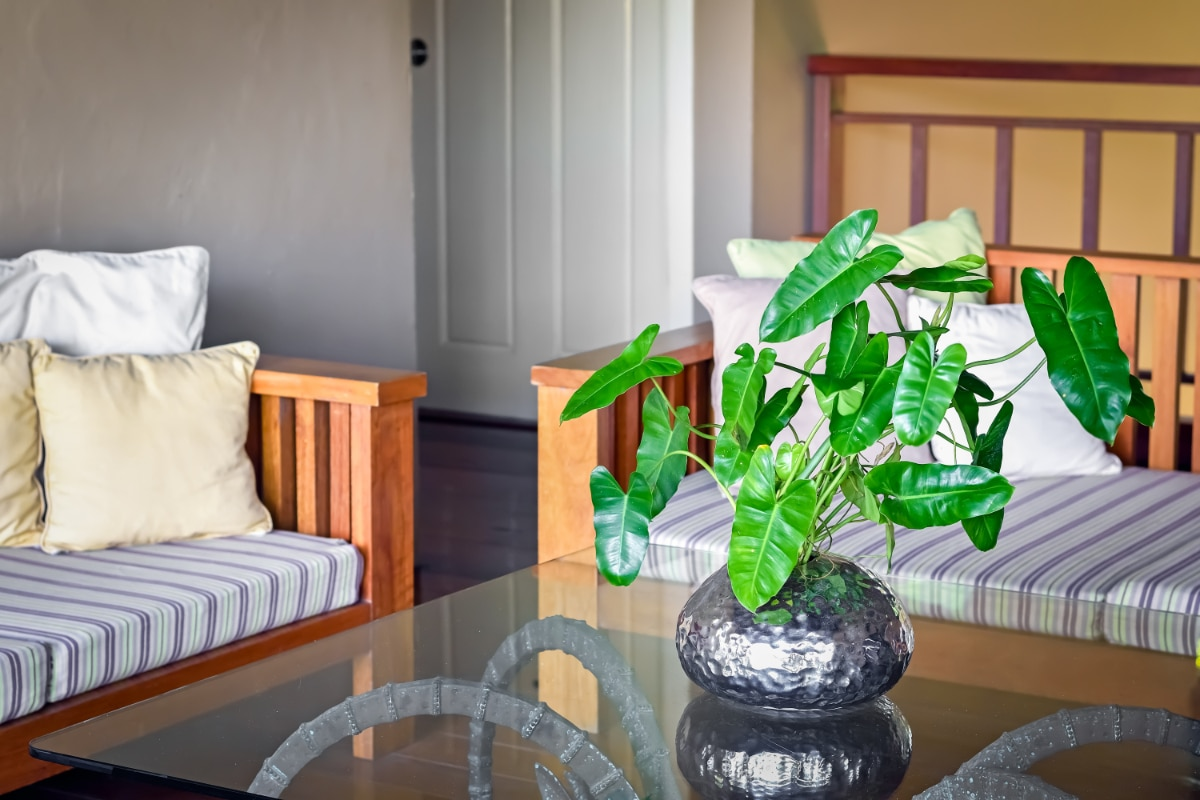 Philodendron on a table