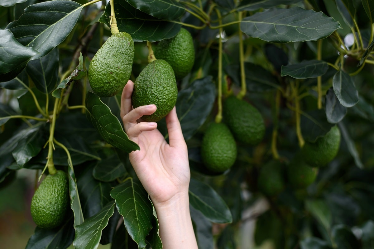 Picking an Avocado from a Tree