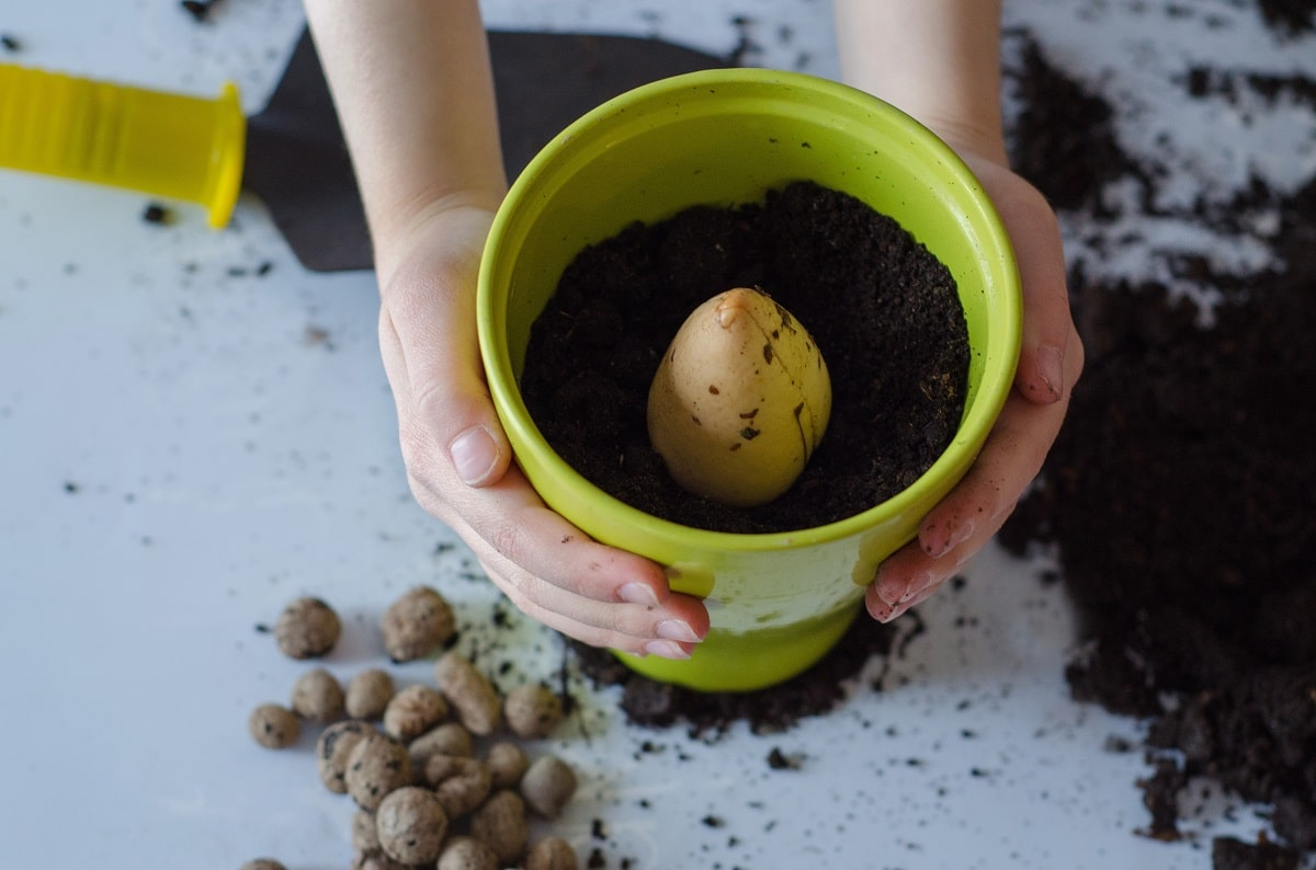 Planting an avocado seed in dirt