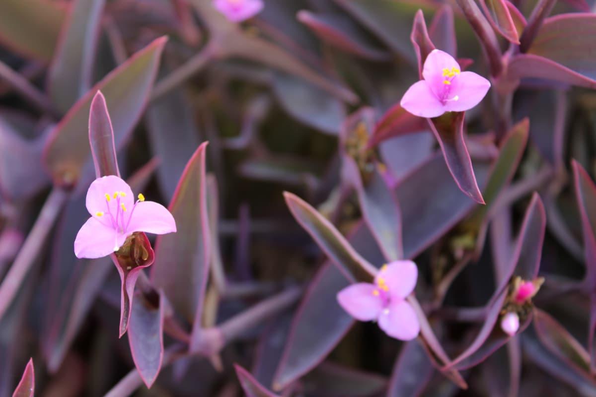 growing purple heart plant