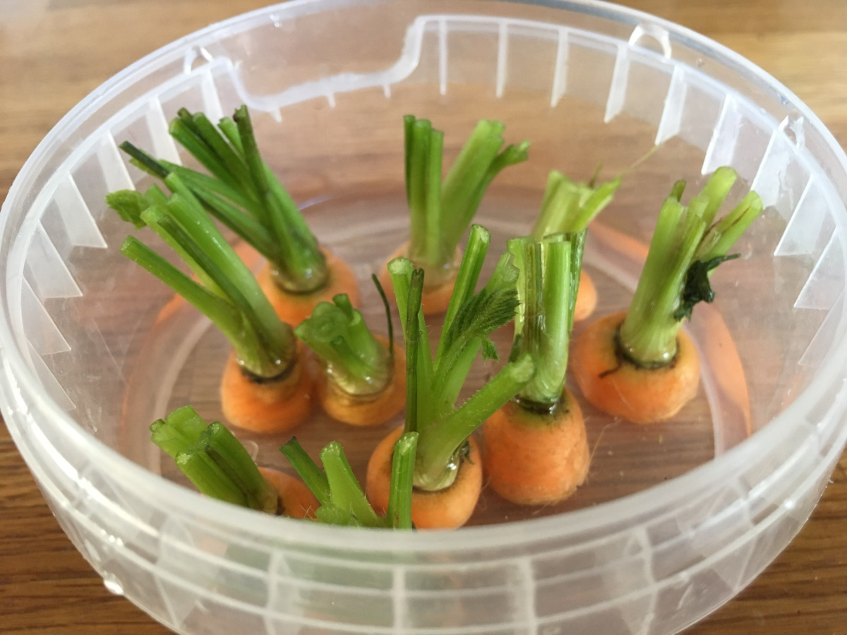 Regrowing carrots in water