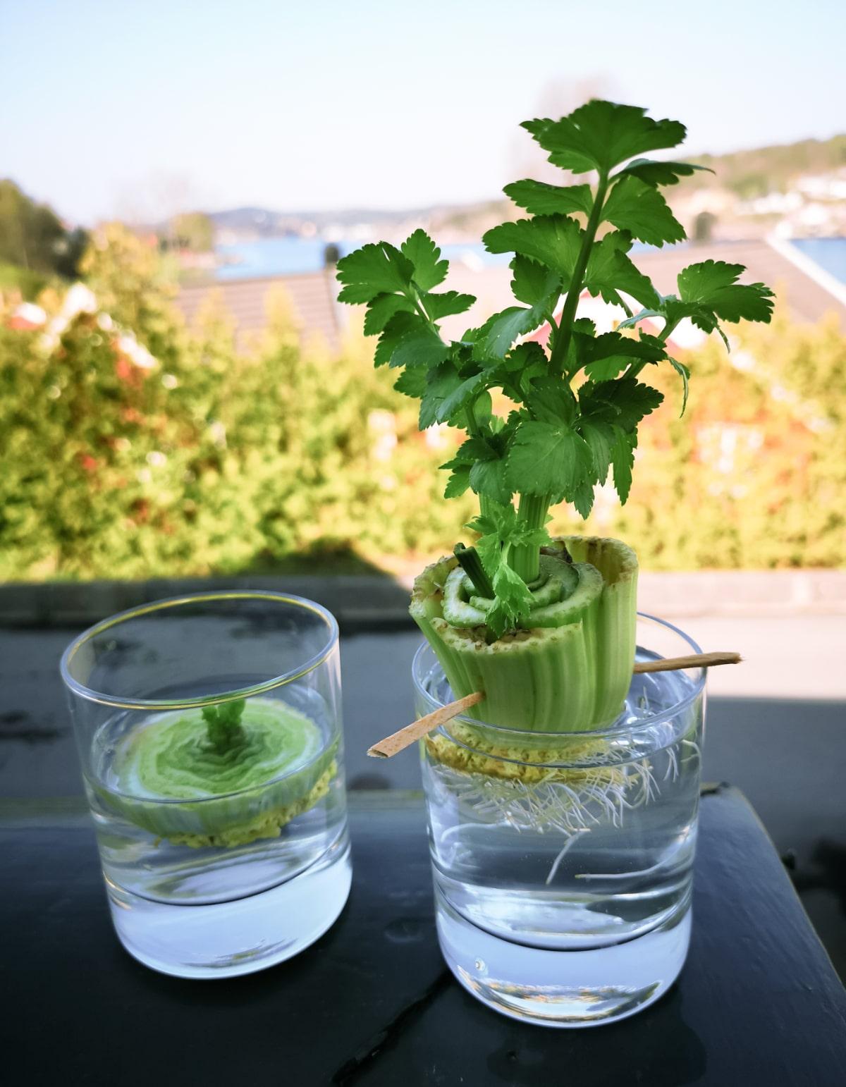 regrowing celery in water