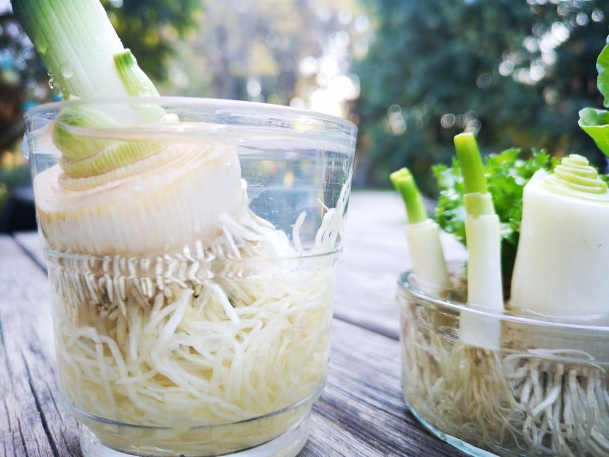 regrowing green onions