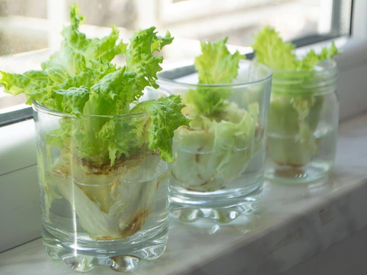 regrowing lettuce in water