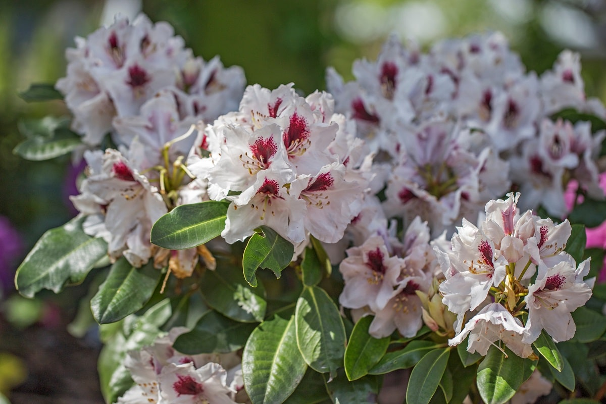 Rhododendrons love vinegar in the garden