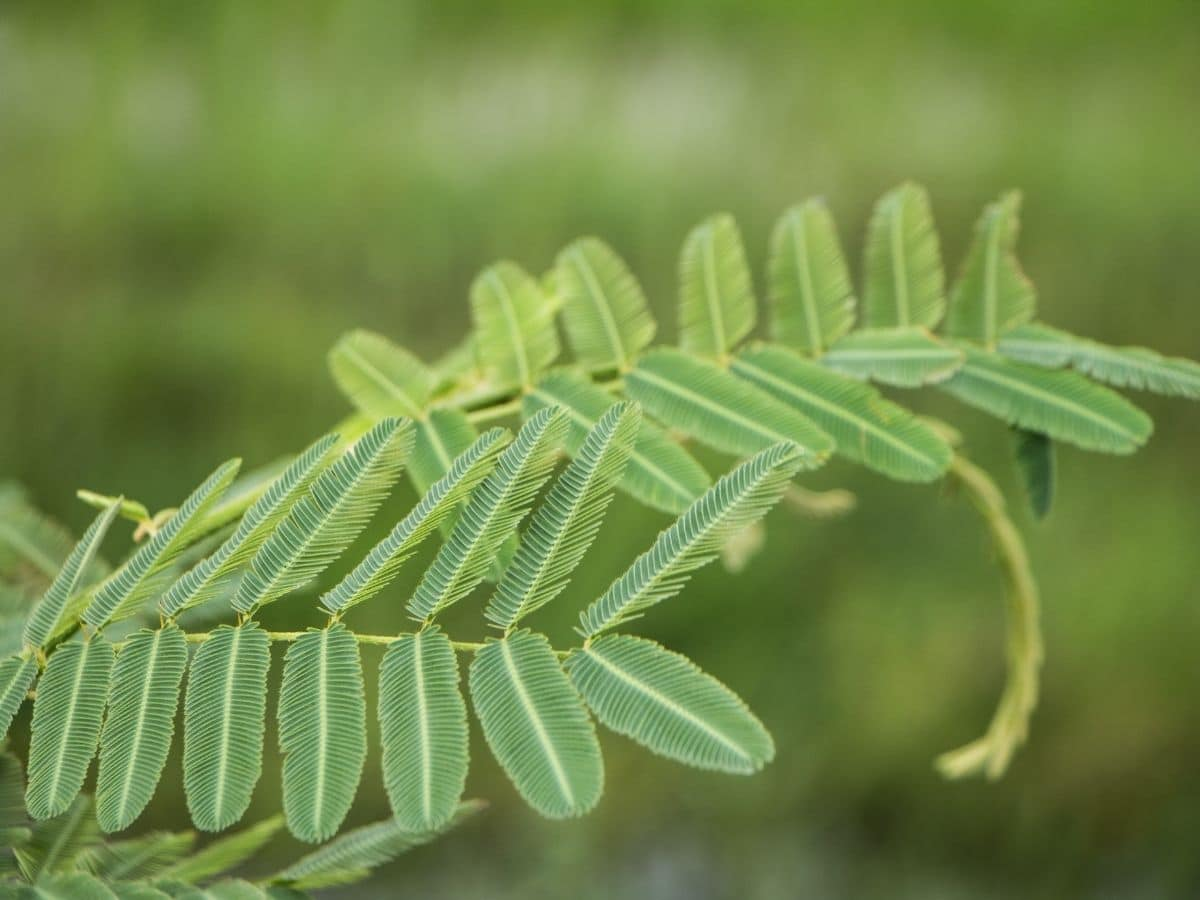 Sensitive plant curling