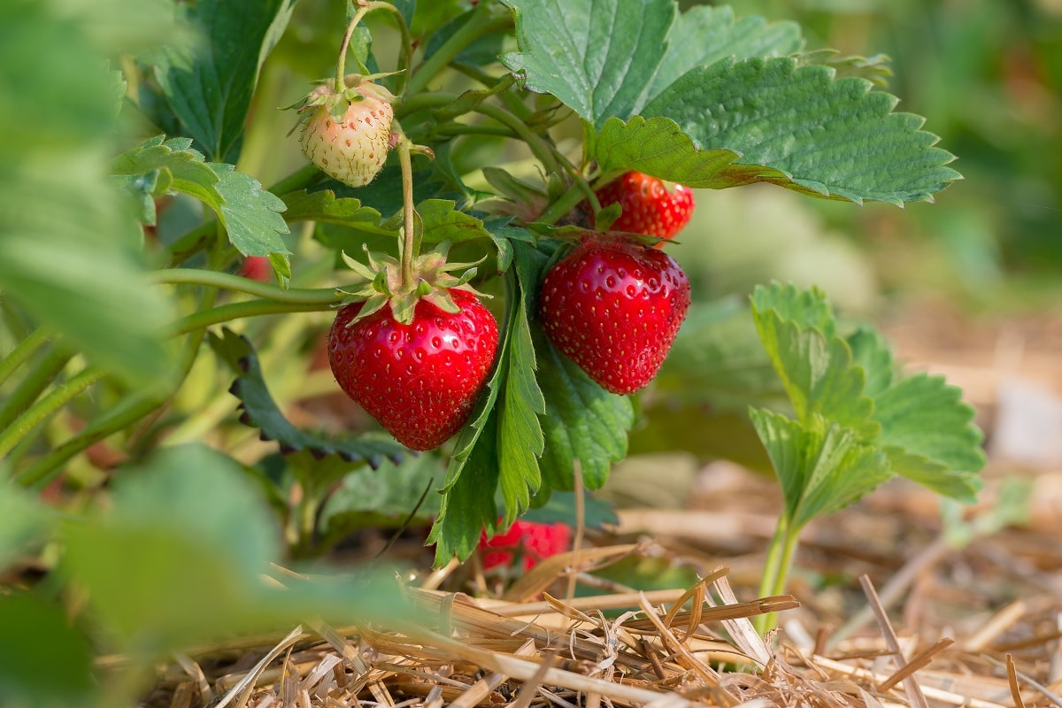 Strawberries ready to pick