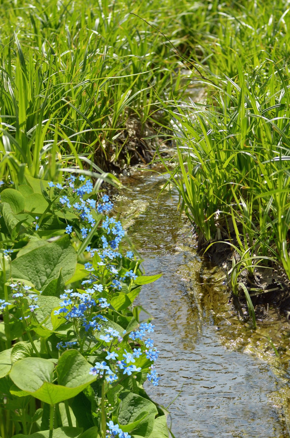 Growing Water Forget-Me-Not in water