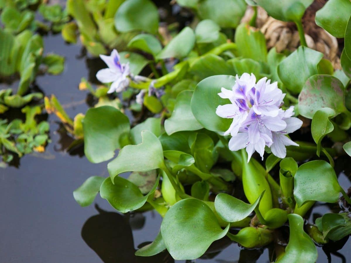 Water Hyacinth growing in water