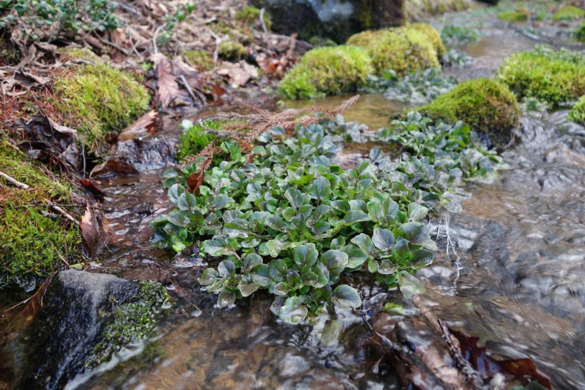 Wild watercress in water