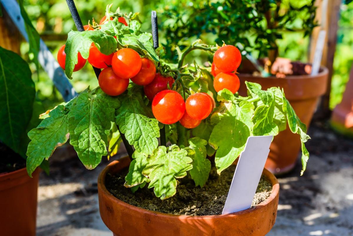 Bush Tomato plant