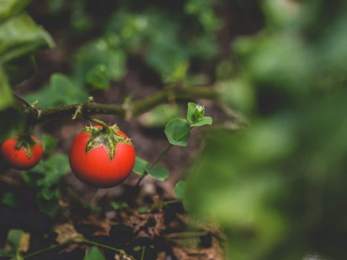 Little Tomato Plant