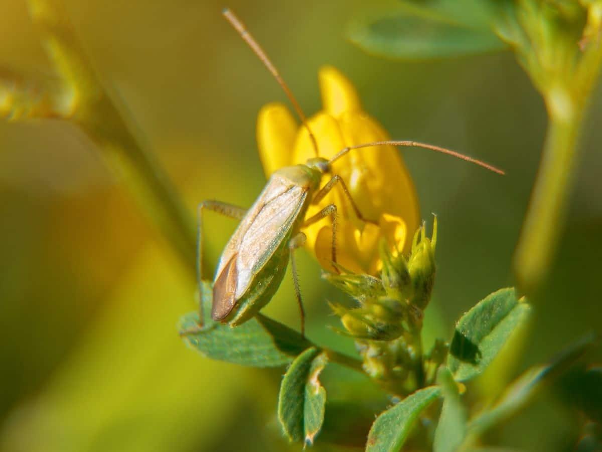 Damsel Bug