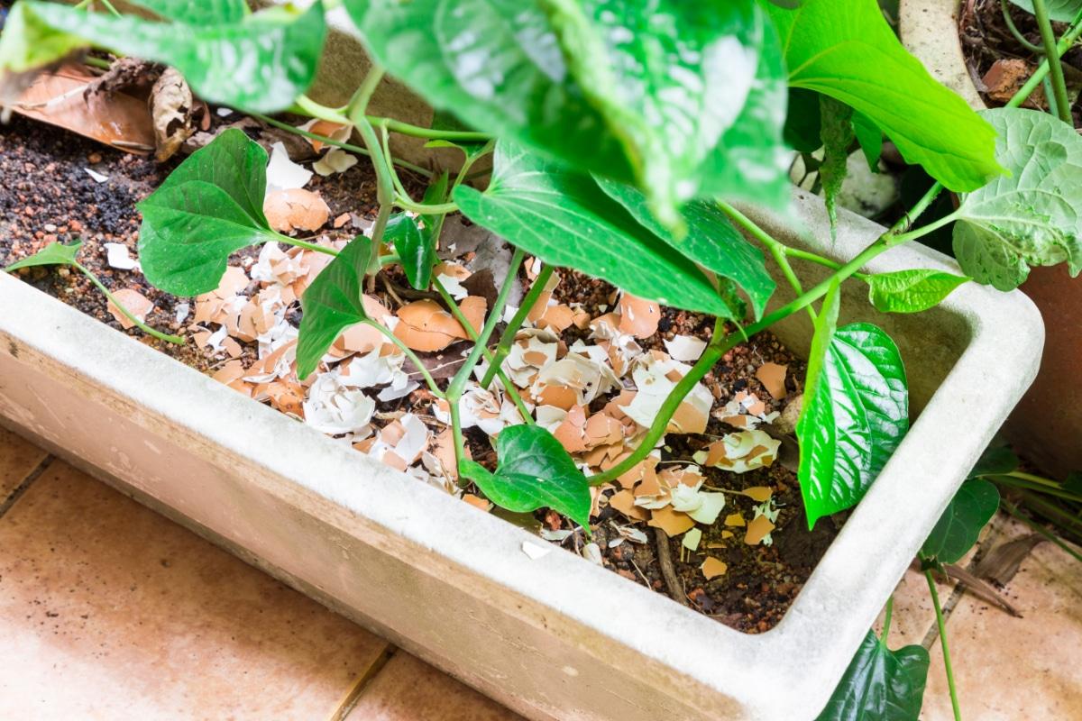 Eggshell on Dirt for Pests