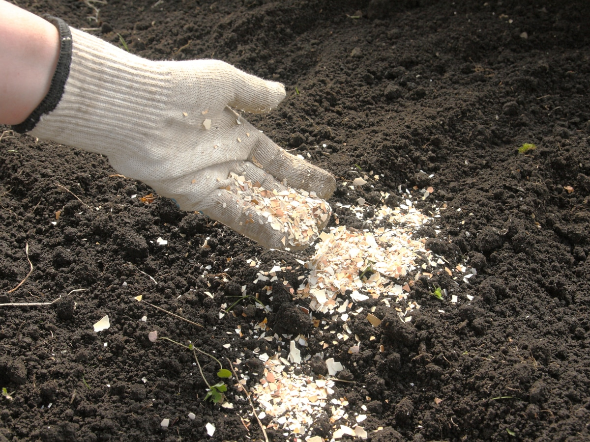 Eggshells in the Garden Fight End Rot
