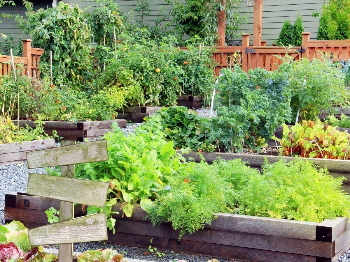 Thriving veggie patch