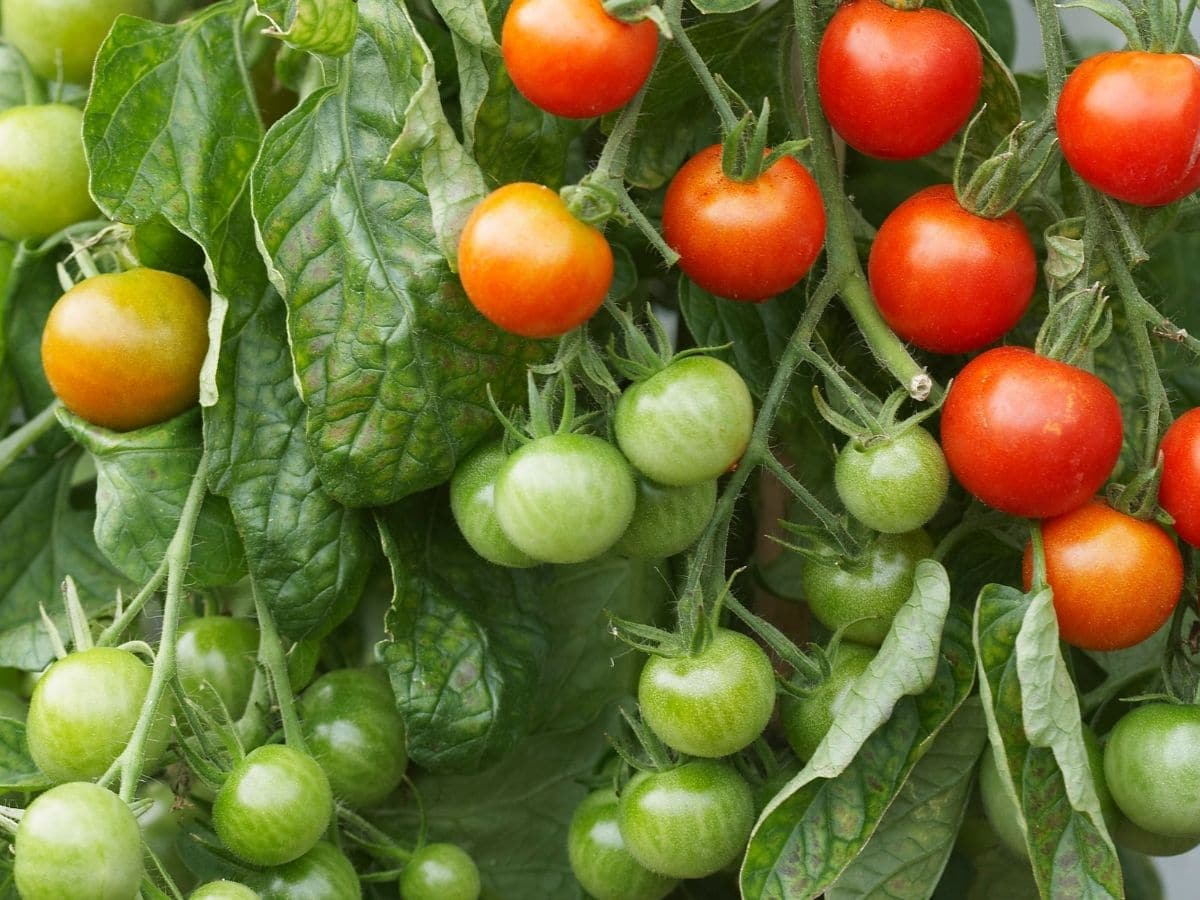 Happy and Healthy Tomato Plant