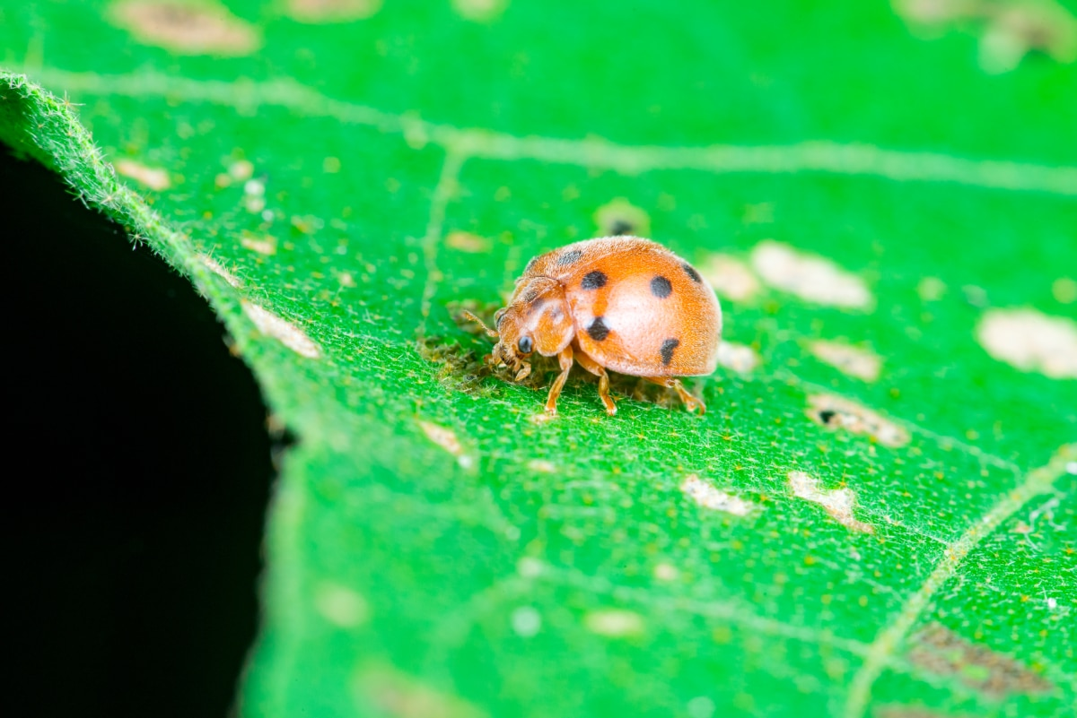 Mexican Bean Beetles