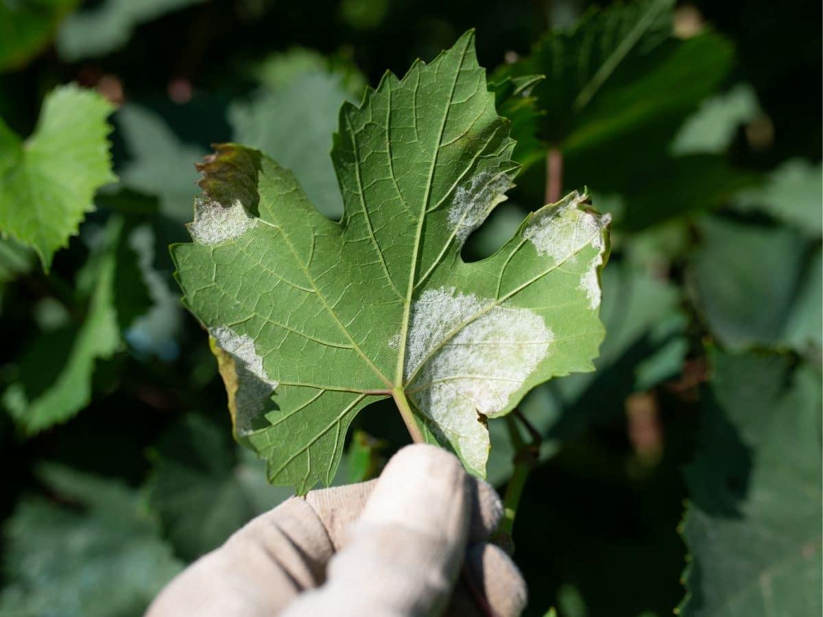 Mildew on a leaf