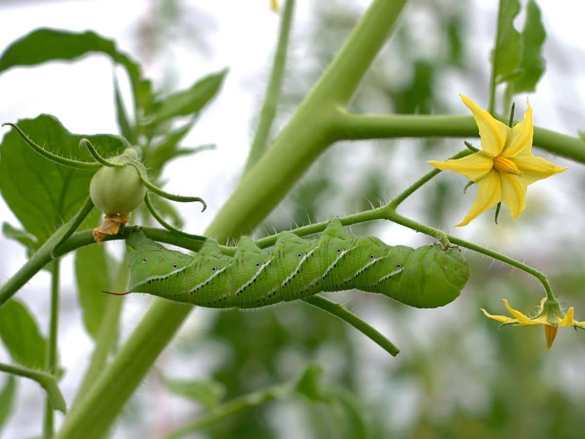 A bug on a tomato plant