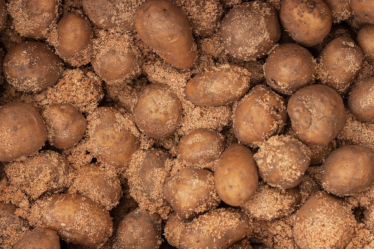 Potatoes covered in sawdust