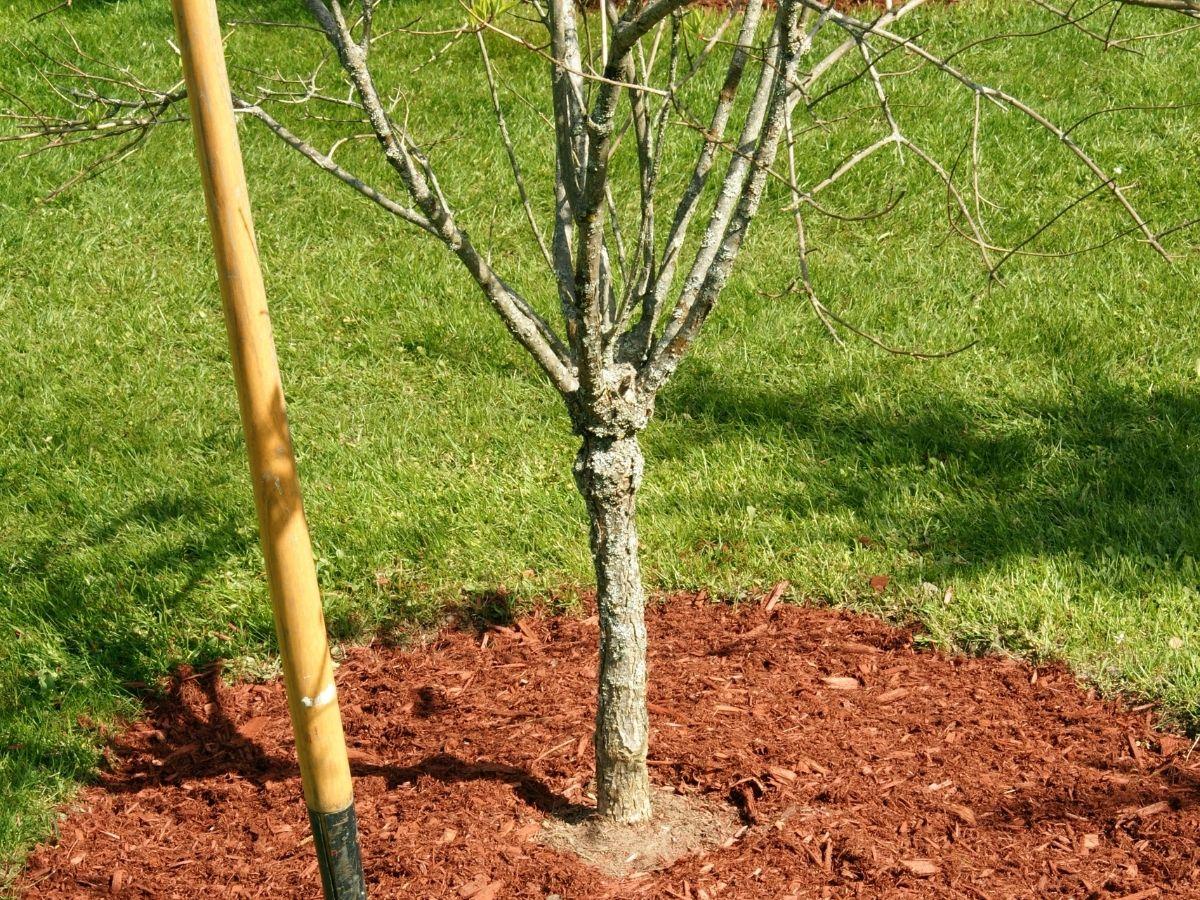 Sawdust around a tree