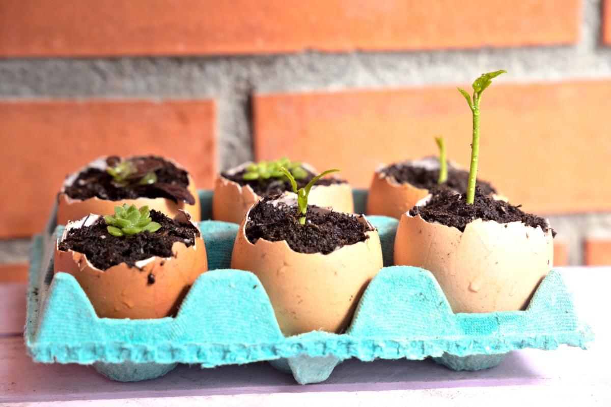 Seedling in Eggshell