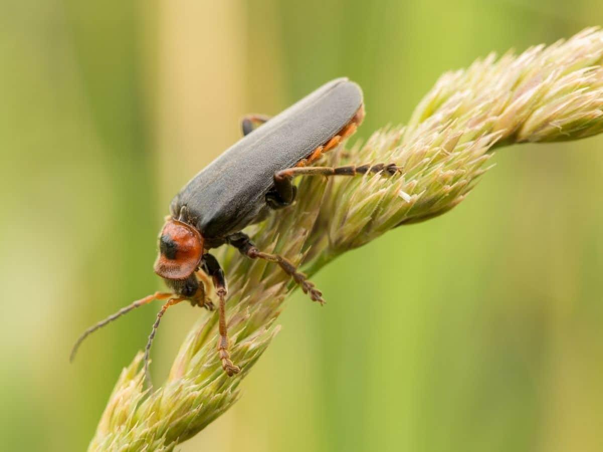 Soldier beetles