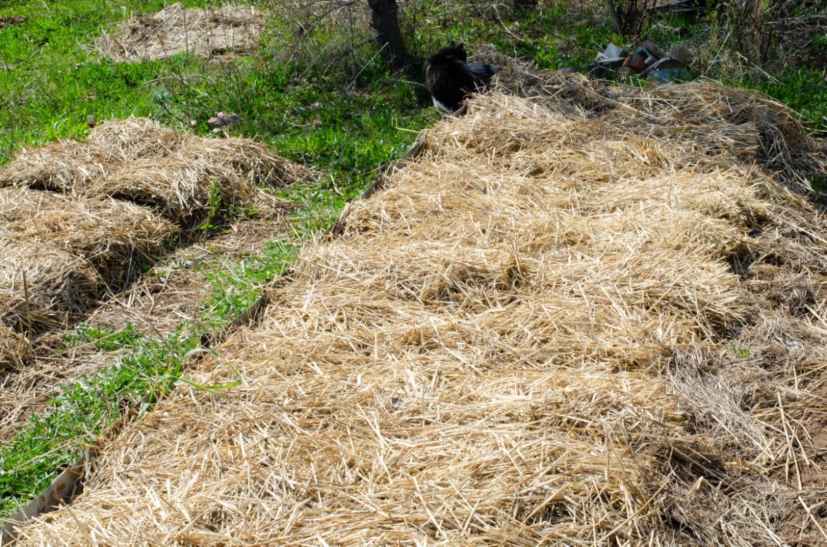 Straw covered ground
