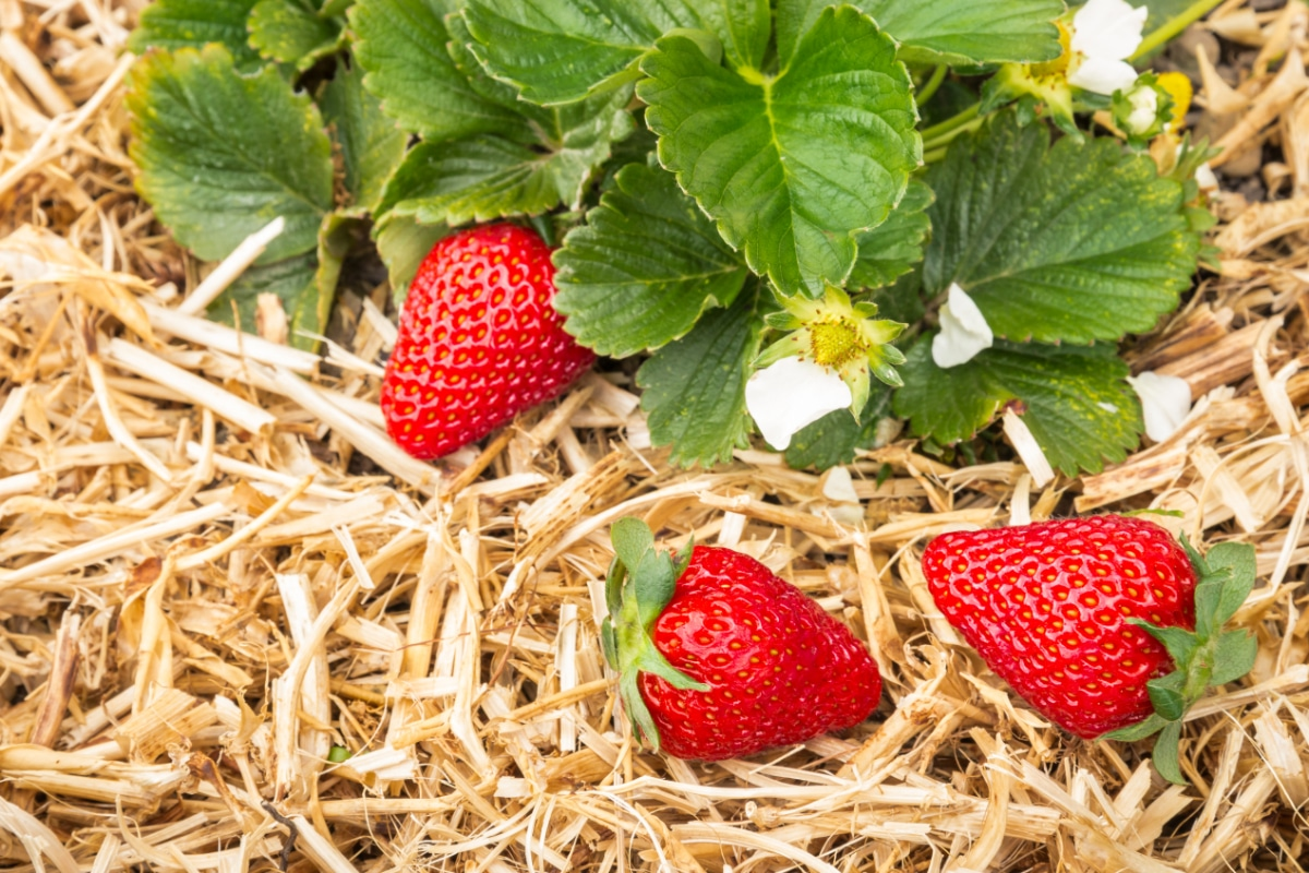 Straw with strawberries