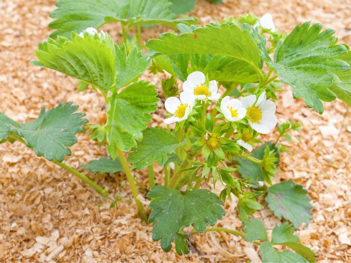 Strawberry plants and sawdust