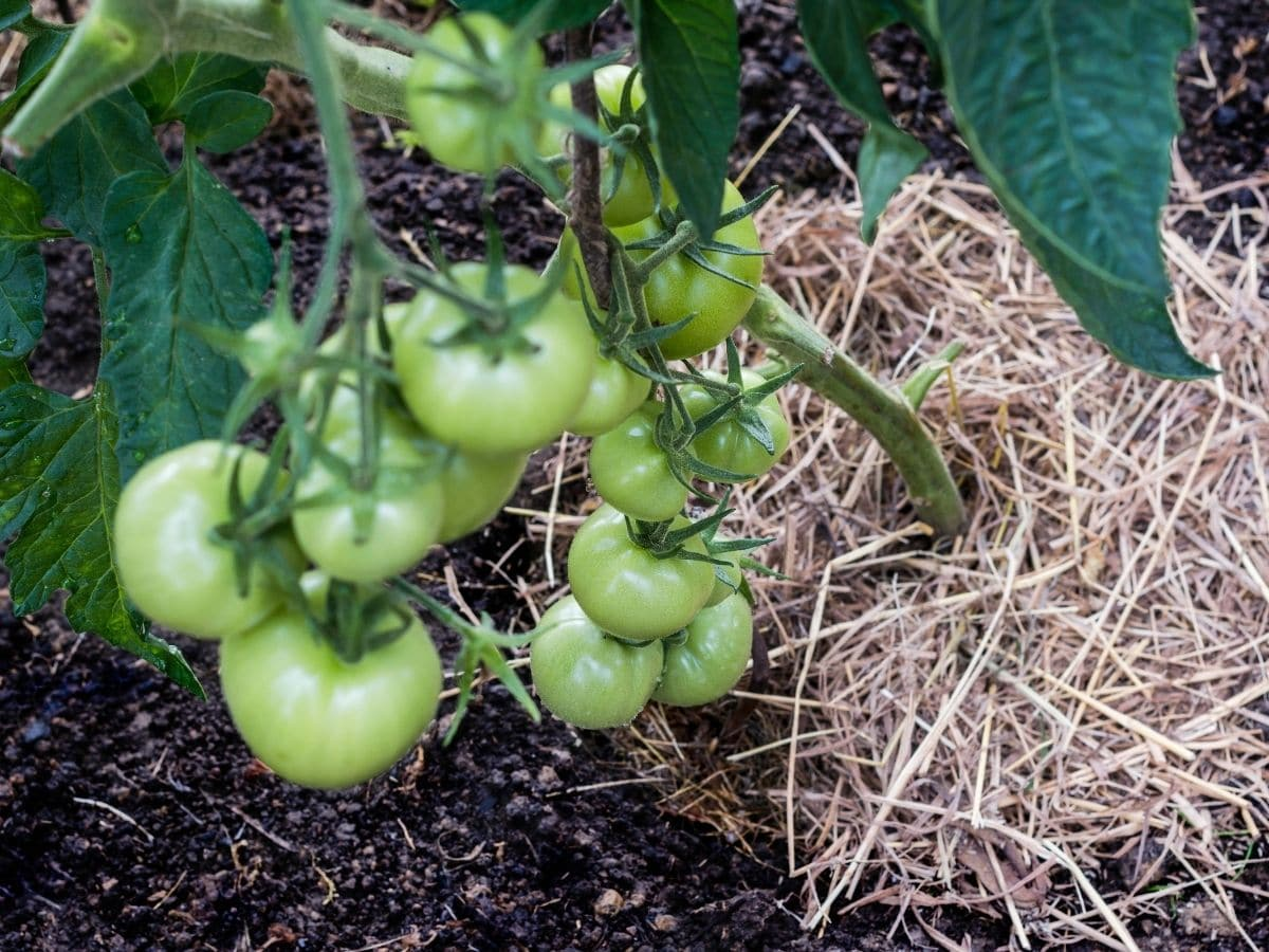 Tomatoes with Mulch