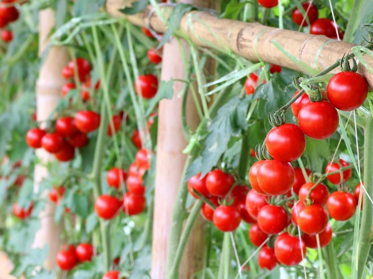 A lot of ripe tomatoes