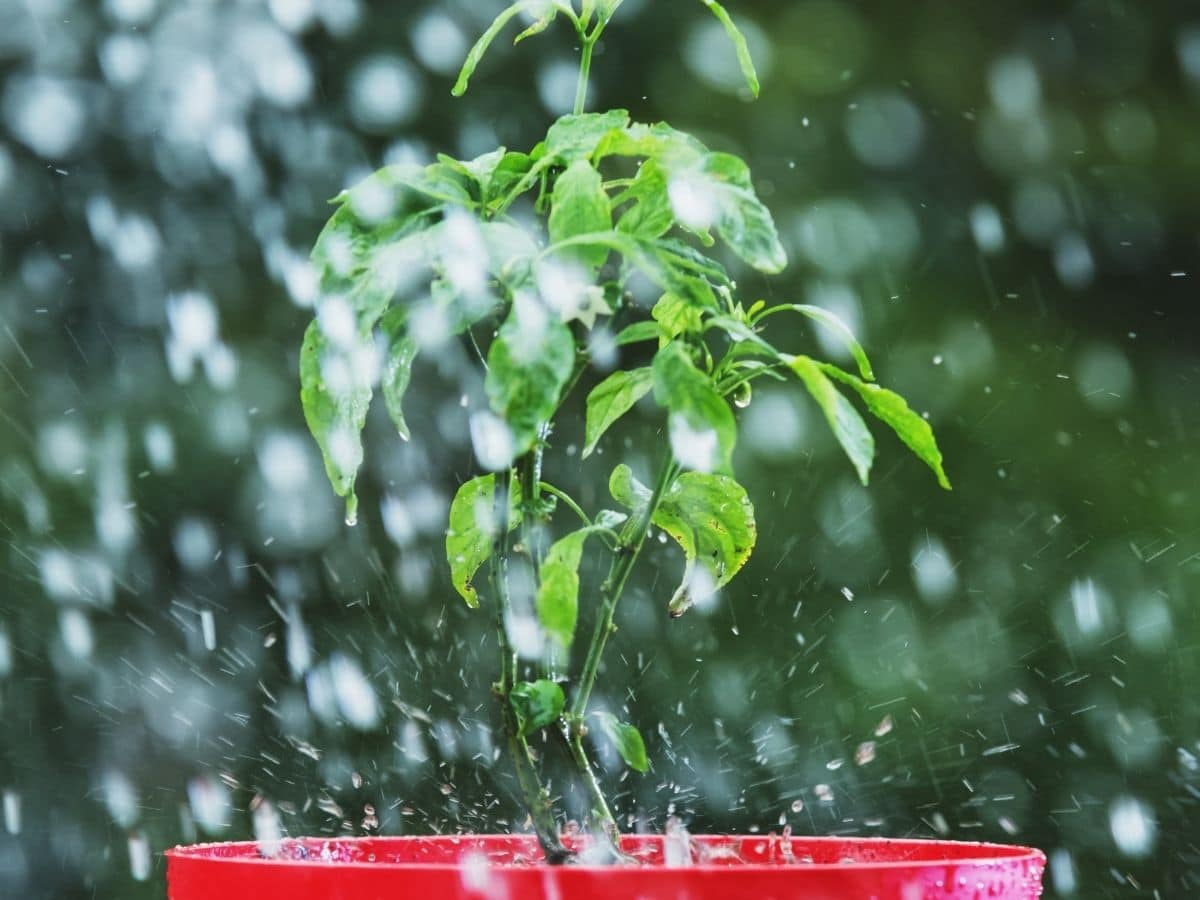 Watering Tomatoes Badly