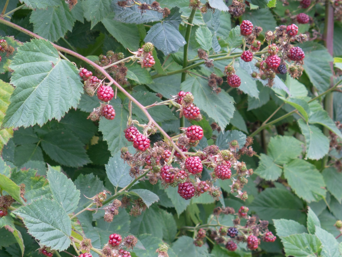 Black Satin Blackberries