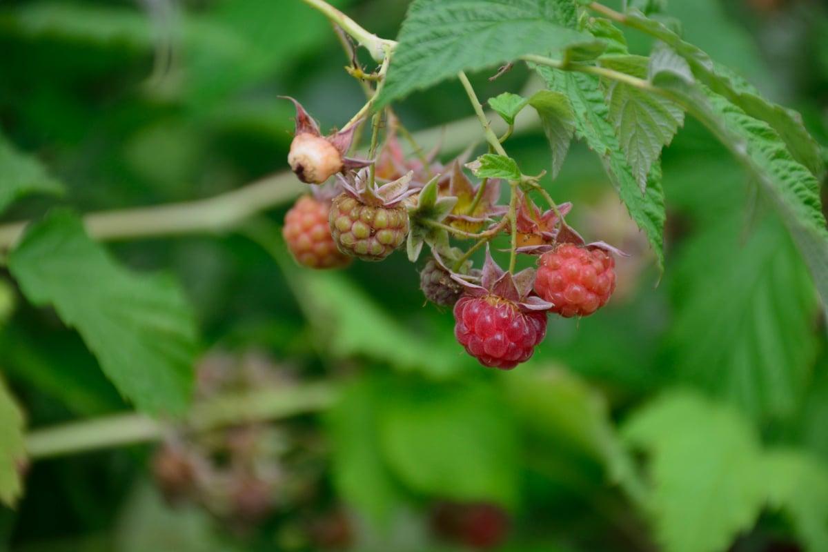 Boyne Raspberries