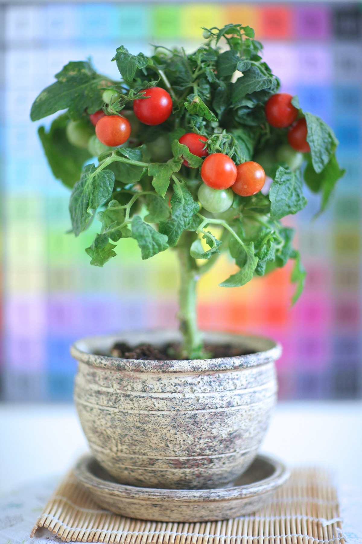Bushy Tomato