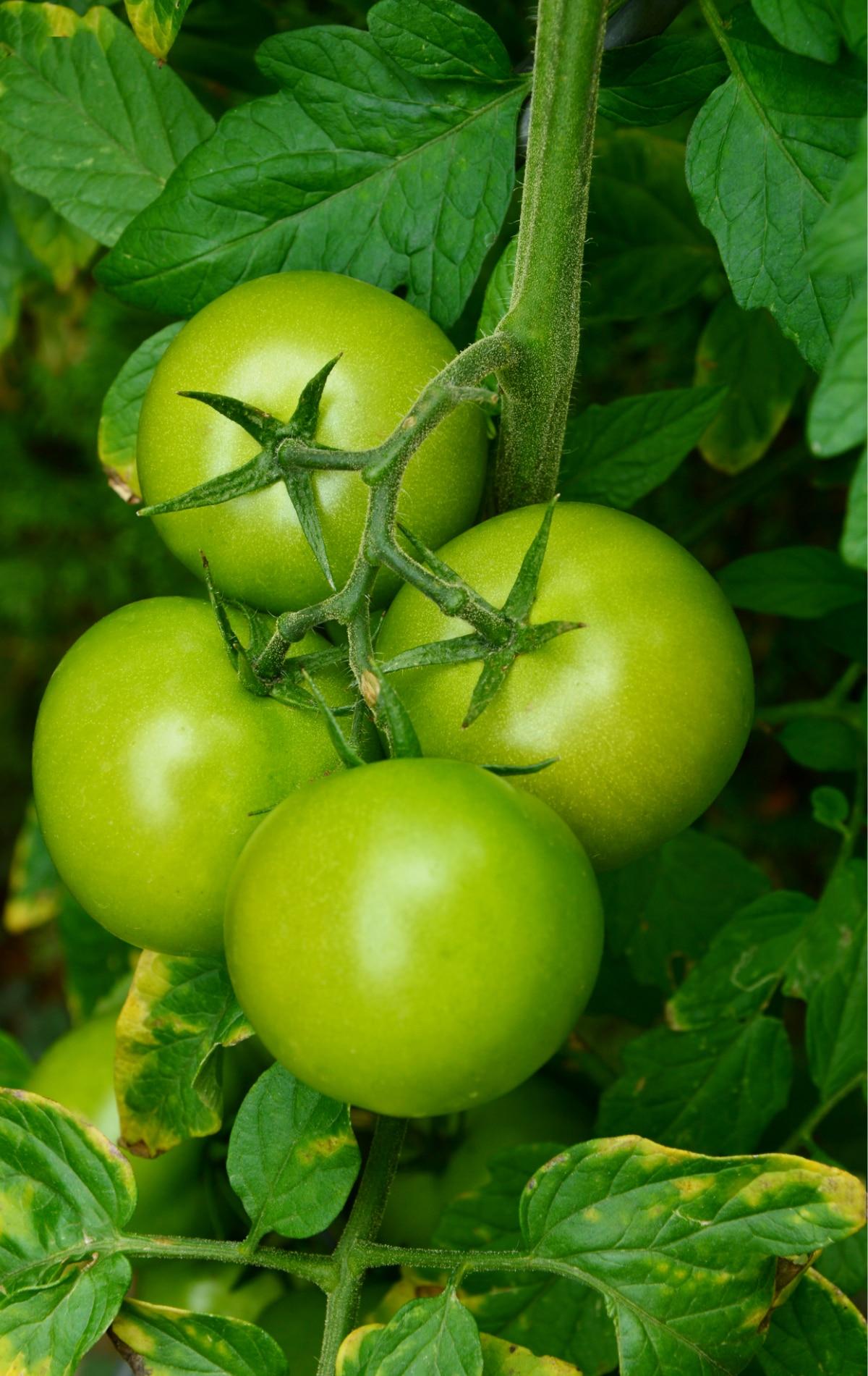Carmello Tomato