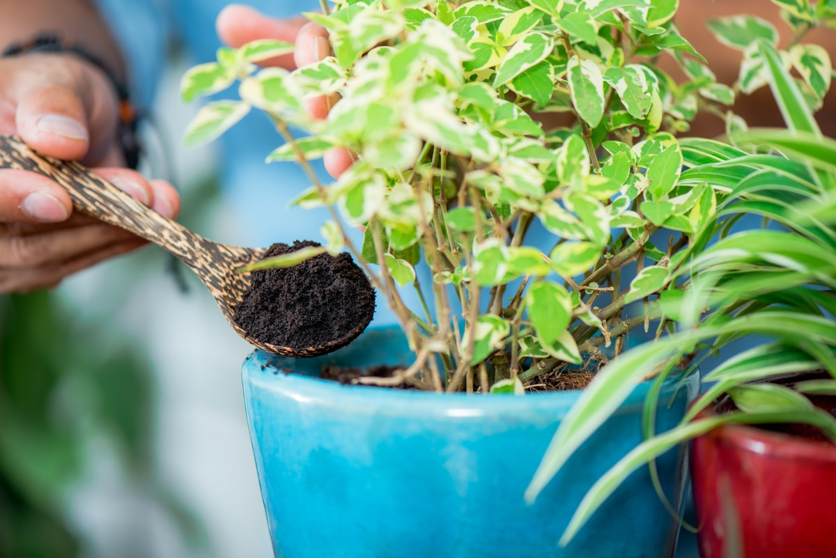 Coffee in Container Gardening